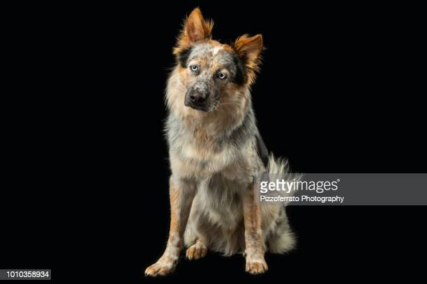 australian cattle dog border collie mix - australian cattle dog stock pictures, royalty-free photos & images