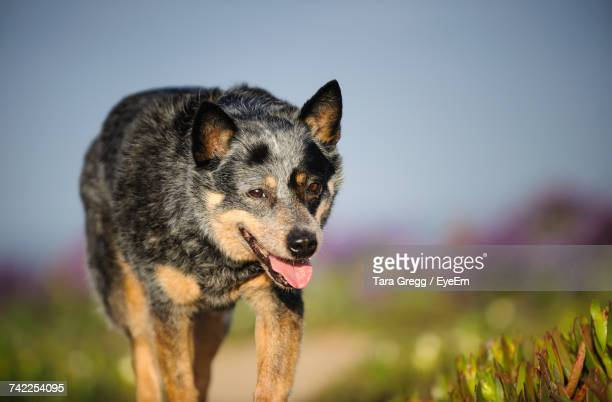 australian cattle dog by plants on field against sky - australian cattle dog stock pictures, royalty-free photos & images
