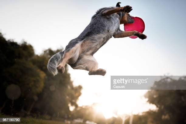 australian cattle dog catching frisbee disc - dog stock pictures, royalty-free photos & images