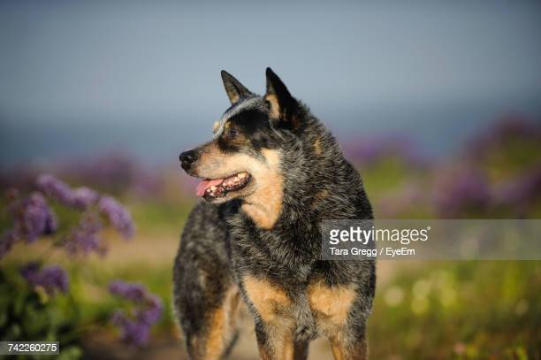 australian cattle dog on field against sky - australian cattle dog stock photos and pictures