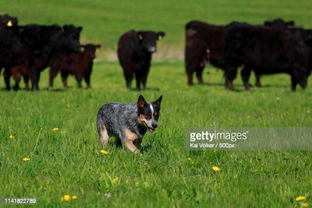australian cattle dog on field - australian cattle dog stock pictures, royalty-free photos & images