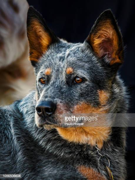 australian cattle dog - australian cattle dog stock pictures, royalty-free photos & images