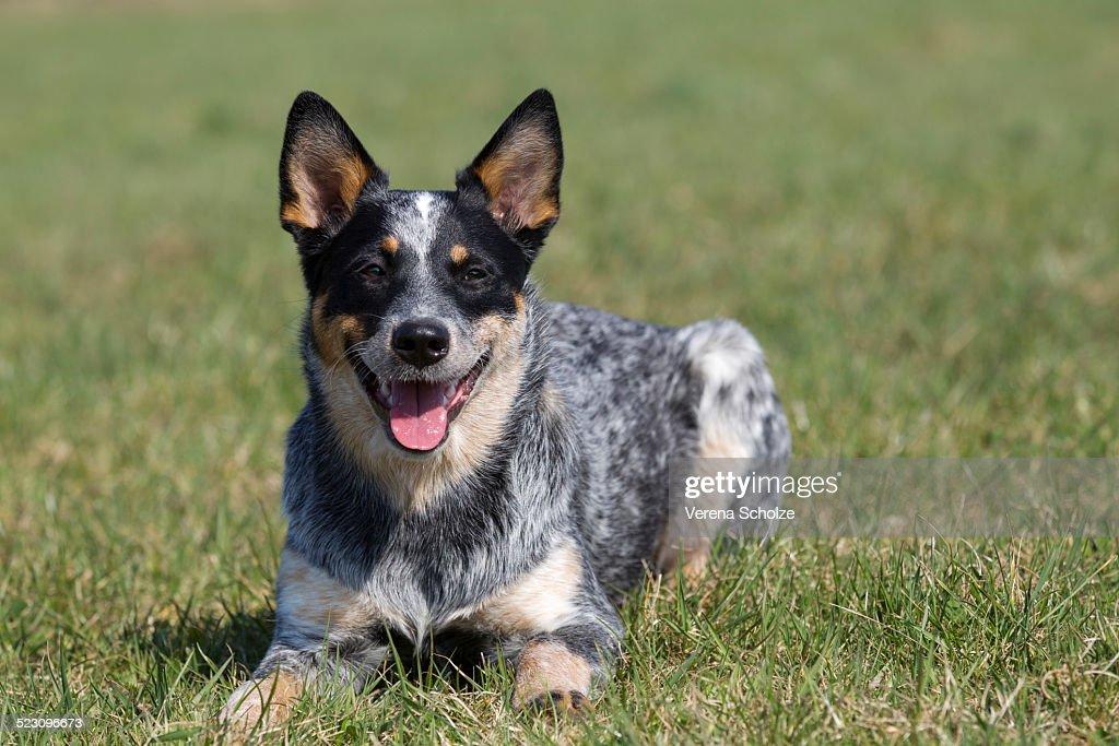 Stock Options Australian Cattle Dogs - Australian Cattle Dog Breeder