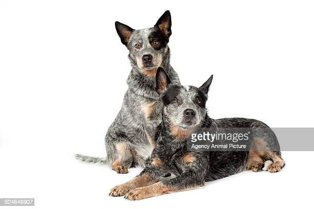australian cattle dog - australian cattle dog stock photos and pictures