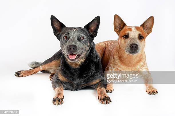 Stock Dogs For Sale - Stock Dogs for Sale