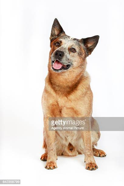 australian cattle dog (acd) - australian cattle dog stock photos and pictures