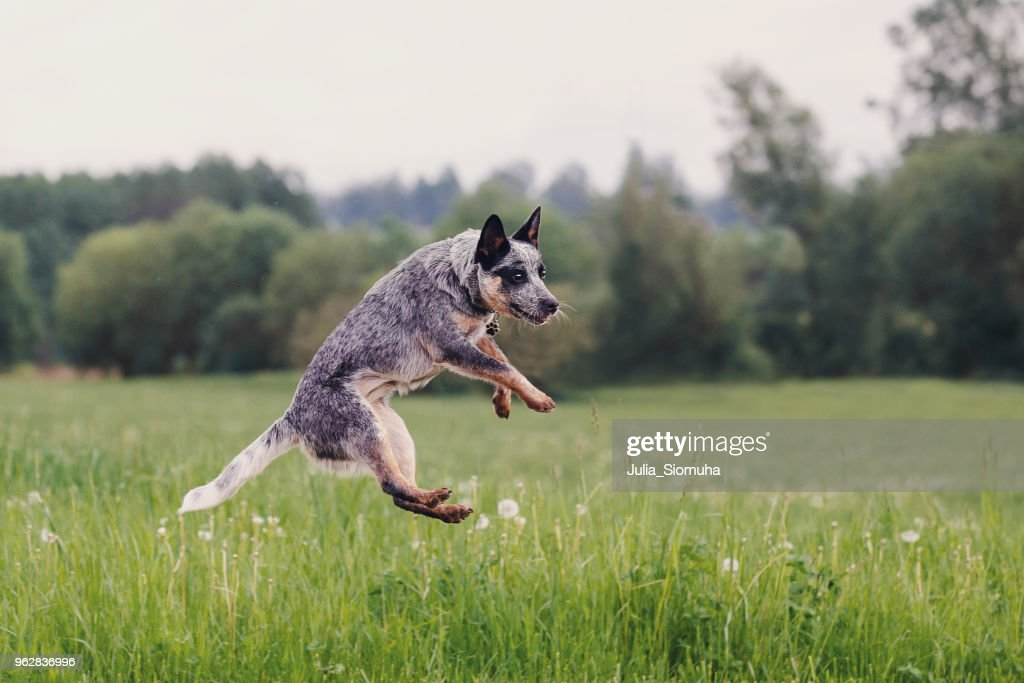 Australian Cattle Dog playing in the grass : Stock Photo