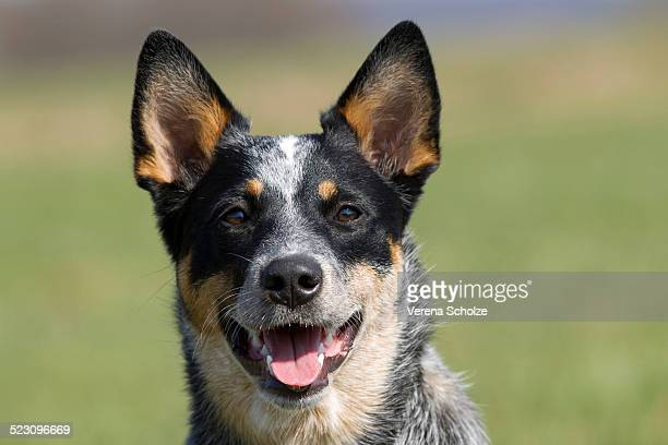 World's Best Australian Cattle Dog Stock Pictures, Photos