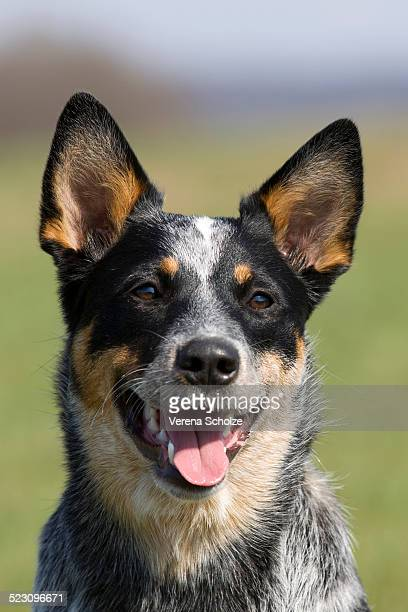 australian cattle dog, portrait - australian cattle dog stock pictures, royalty-free photos & images