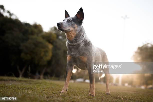 australian cattle dog portrait - australian cattle dog stock pictures, royalty-free photos & images