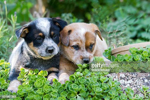 australian cattle dog puppies, 7 weeks, in a garden, elsenfeld breeding - australian cattle dog stock pictures, royalty-free photos & images
