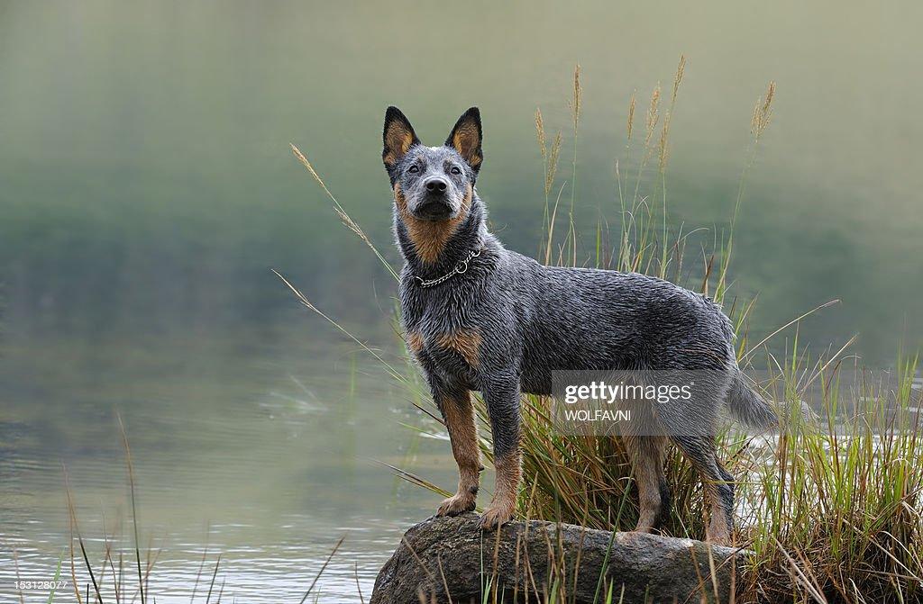 Australian Cattle Dog puppy : Stock Photo