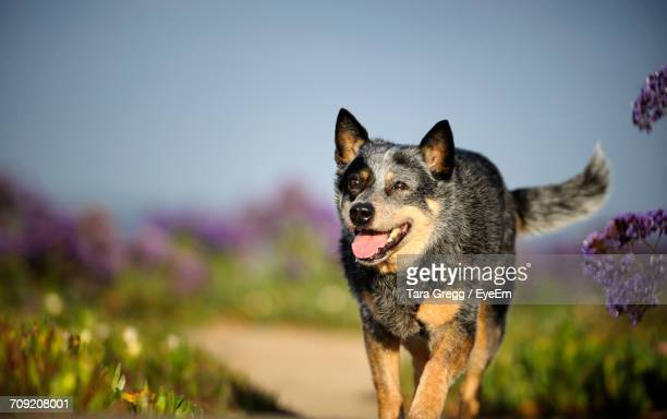 australian cattle dog running on field - australian cattle dog stock pictures, royalty-free photos & images