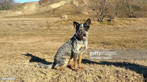 australian cattle dog sitting on field - australian cattle dog stock pictures, royalty-free photos & images