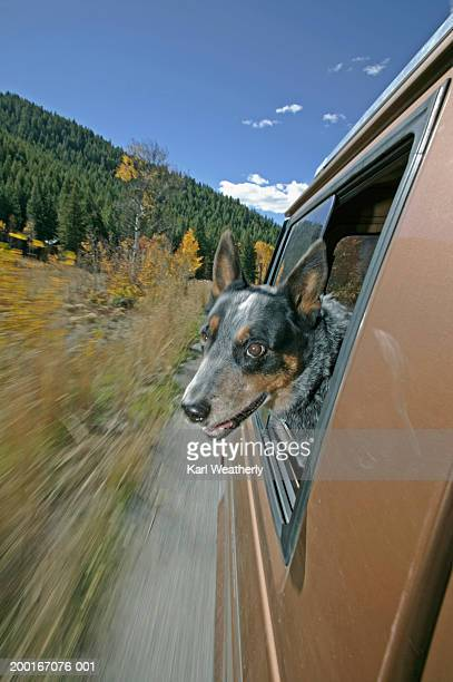 Australian cattle dog sticking head out car window (blurred motion)