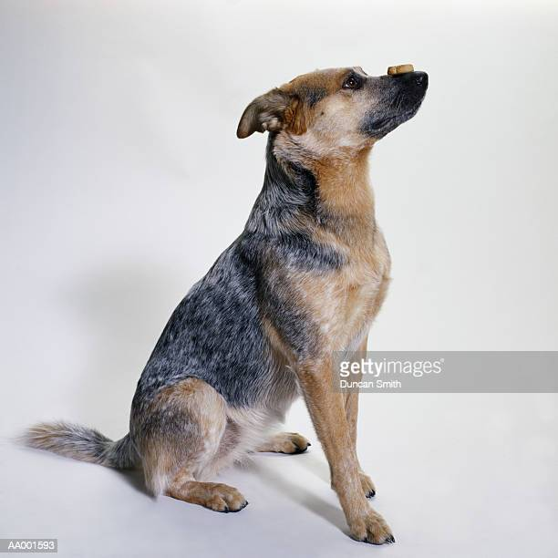 australian cattle dog with a dog biscuit - australian cattle dog stock pictures, royalty-free photos & images