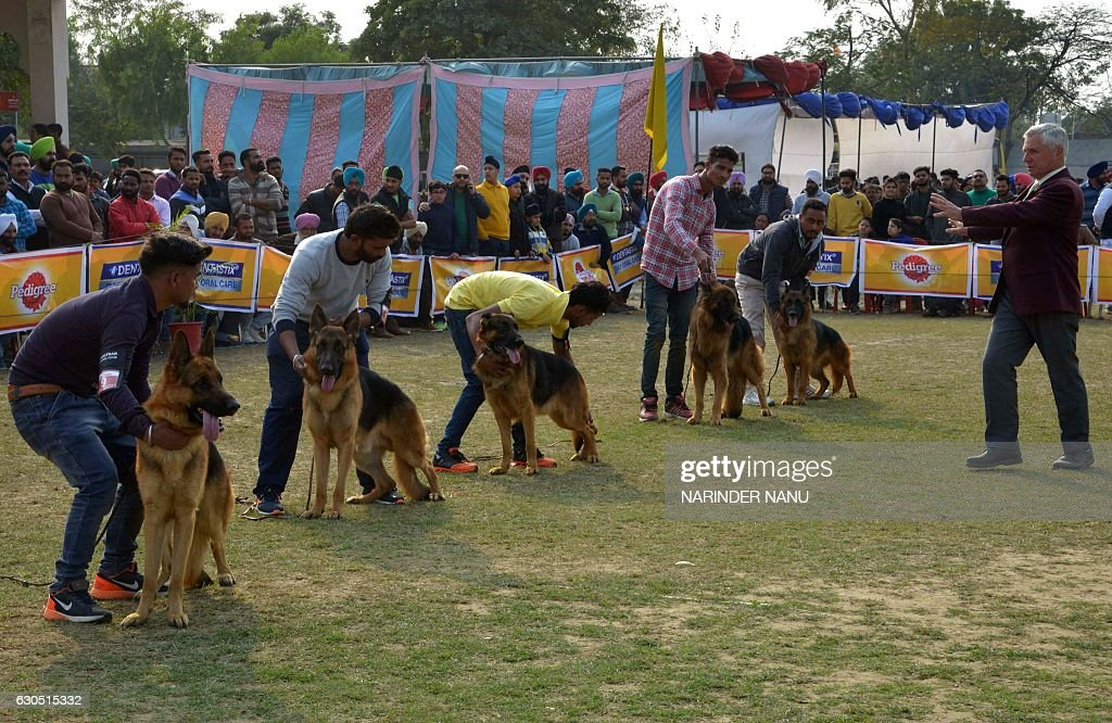 Australian competition judge Max Winch inspects animals during an All Breed Championship Pointed Dog Show in Amritsar on December 25 2016 The dog...