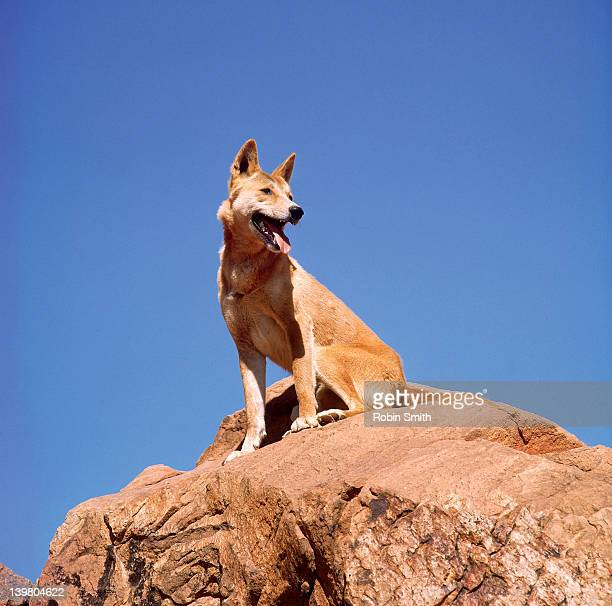 Australian dingo sitting on rock, Northern Territory