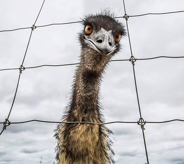 Australian Emu (Dromaius Novaehollandiae) Wall Art
