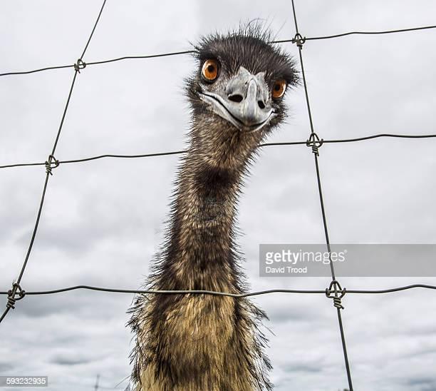 australian emu (dromaius novaehollandiae) - emu stock pictures, royalty-free photos & images
