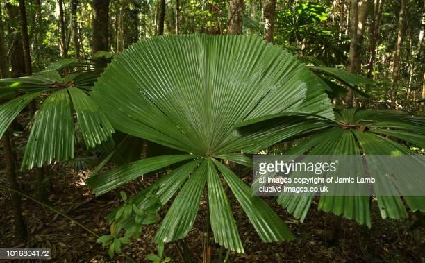 Australian Fan Palm, Daintree