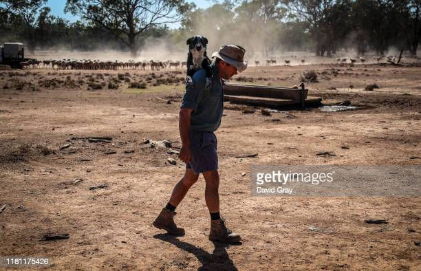 Australian farmer Richard Gillham carries his tired dog on his shoulder after feeding his sheep in a drought-affected paddock on his property...