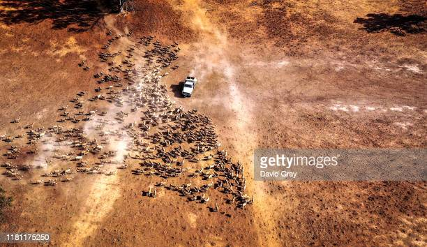 Australian farmer Richard Gillham drives his truck across a drought-affected paddock as he feeds his sheep on his property 'Barber's Lagoon' located...