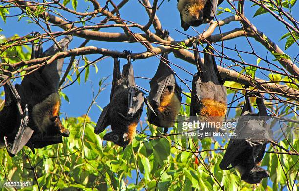 Australian Flying Foxes