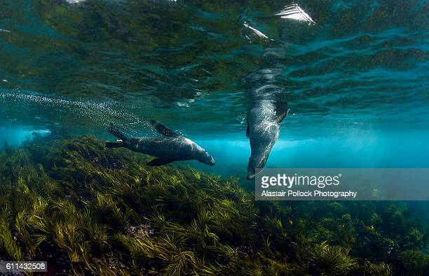 Australian fur seals in sea grass