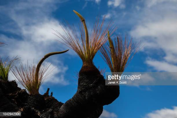 australian grass tree - janet scott stock pictures, royalty-free photos & images