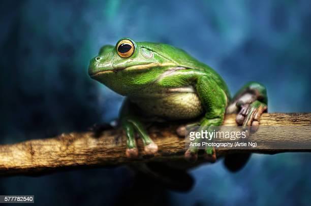 Australian Green Tree Frog, Daintree, Far North Quensland, Australia