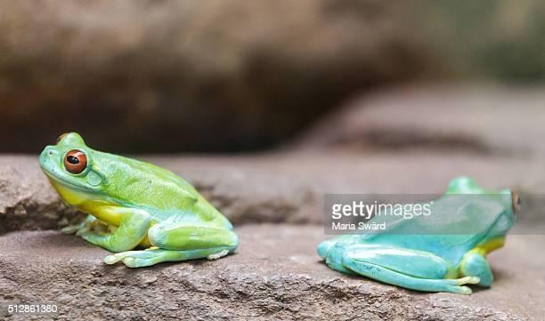 Australian green tree frogs, Sydney zoo, Australia