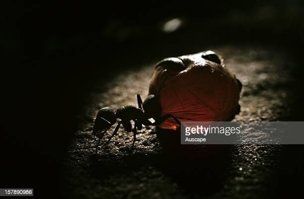 Australian honeypot ant replete Wallara Northern Territory Australia