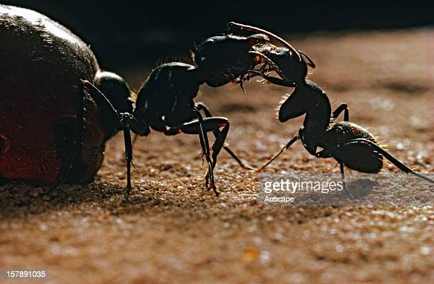 Australian honeypot ants worker on right grooms replete on left in order to gain a feed Palmer River area Northern Territory Australia