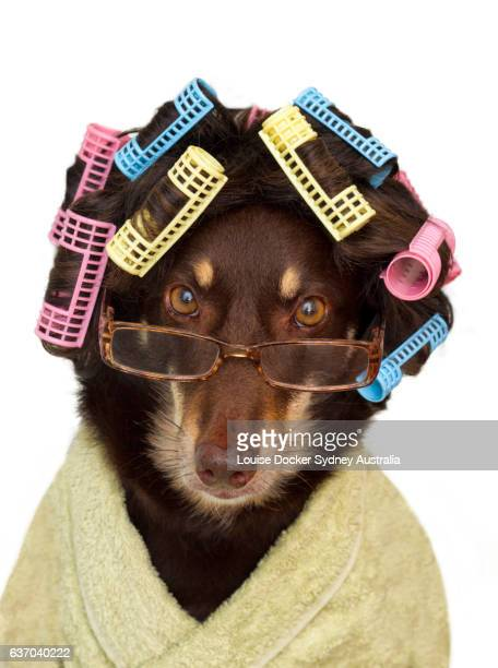 Australian Kelpie Dog wearing wig with hair curlers ,glasses and a dressing gown on a white background