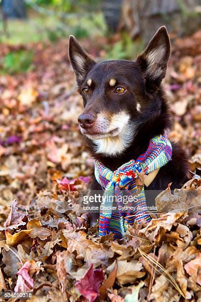 Australian Kelpie playing in leaves
