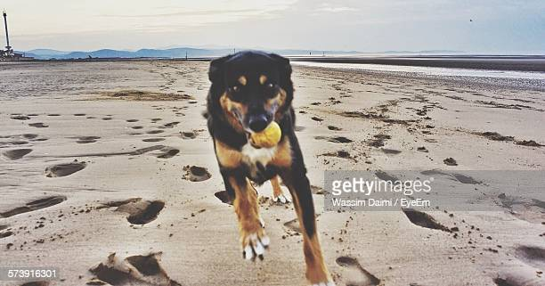 Australian Kelpie Playing With Ball In Mouth At Beach