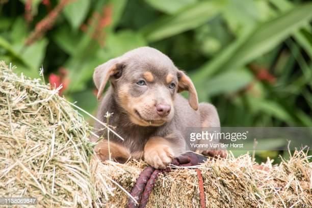 australian kelpie puppies at play - オーストラリアンケルピー ストックフォトと画像
