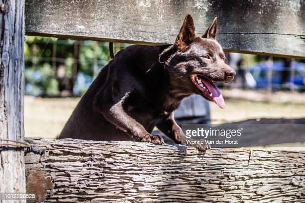 australian kelpie standing near the stock yard - cão adestrado - fotografias e filmes do acervo