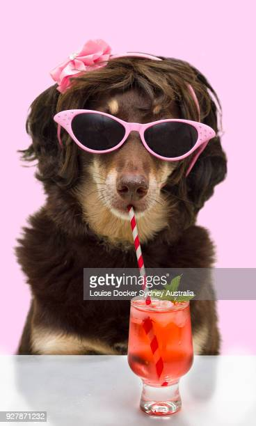 Australian kelpie wearing glasses and drinking a cocktail