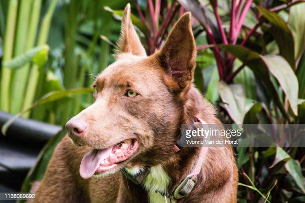 australian kelpie . working dog - オーストラリアンケルピー ストックフォトと画像