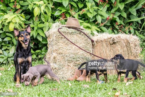 Australian Kelpies Mother dog watching over her puppies