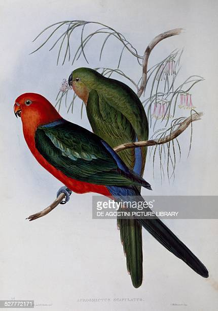 Australian king Parrot engraving by John Gould and Henry Constantine Richter United Kingdom 19th century