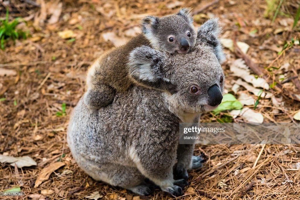 Australian koala bear native animal with baby : Stock Photo