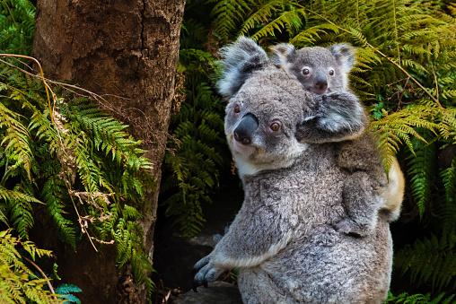 Australian koala bear native animal with baby 622064740