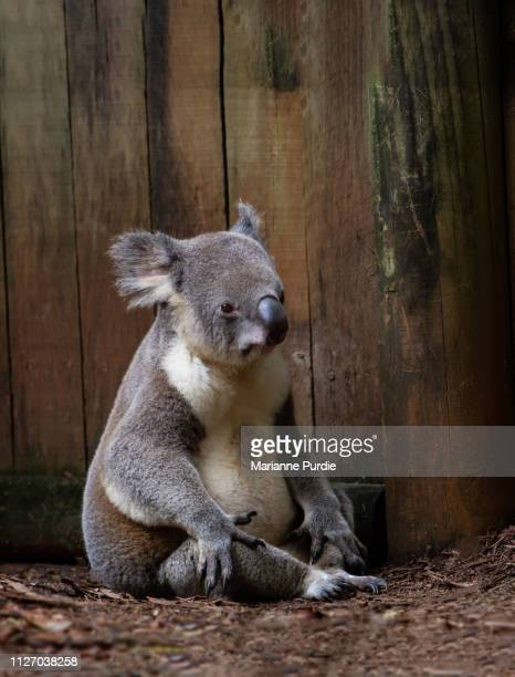 australian koala - koala stock photos and pictures