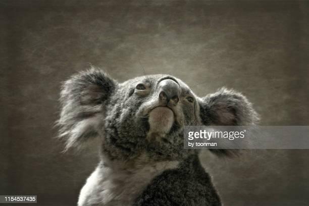 australian koala - marsupial imagens e fotografias de stock