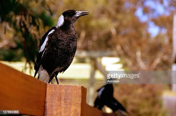 Australian magpie on fence in suburban garden calling Canberra Australian Capital Territory Australia