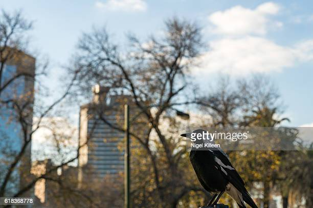 australian magpie - diving to the ground stock pictures, royalty-free photos & images