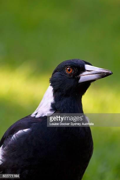 Australian Magpie portrait.